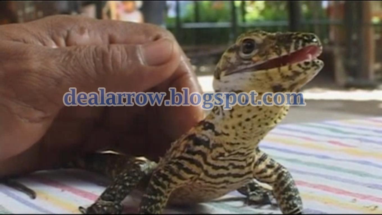 Komodo Dragon Eggs Hatching | 768x1360