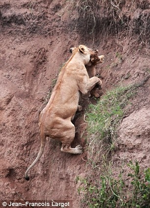 Lions saving a lion
