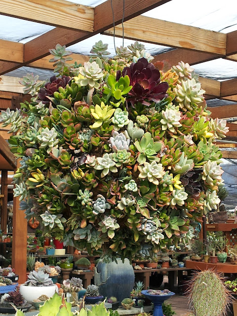 drought tolerant succulent idea: a round hanging basket of succulents on the patio