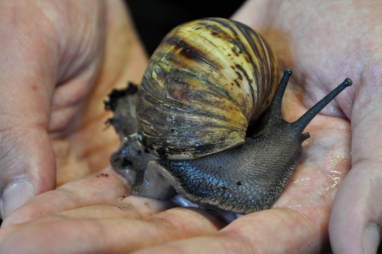An African snail, The Butterfly World Project, St. Albans, Herts, UK
