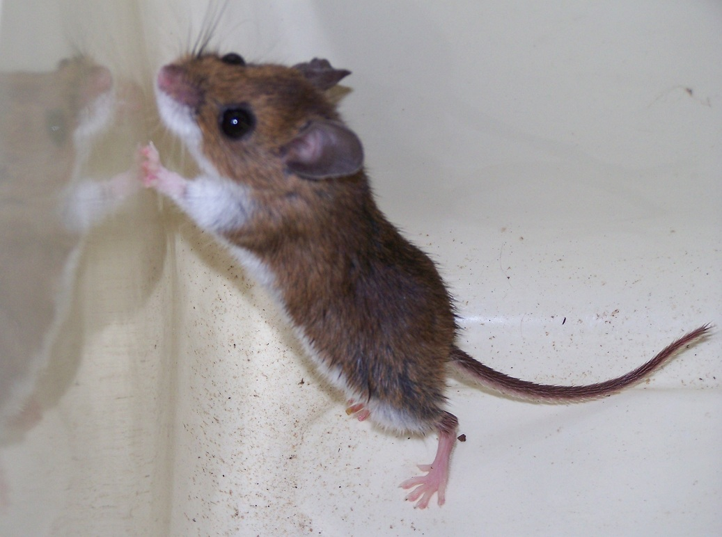 What Lives in my Yard?: To catch a deer mouse (Peromyscus ...