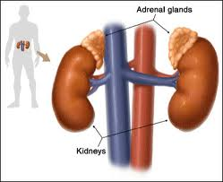 location-of-adrenal-glands-image