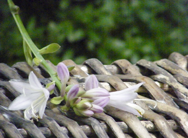 Hosta bloom resting on basket.