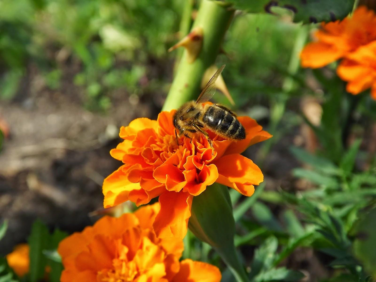 Bite uz samtenes zieda