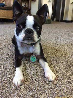 Sinead small the Boston terrier