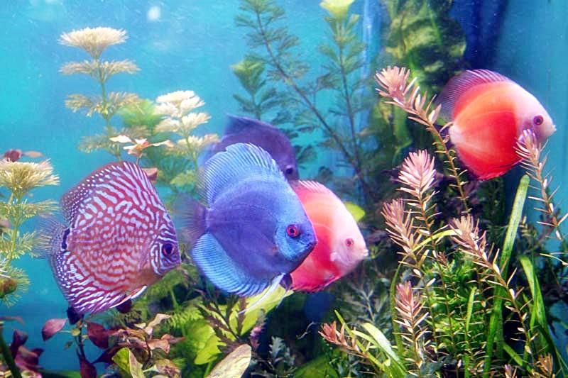 gambar foto ikan discus