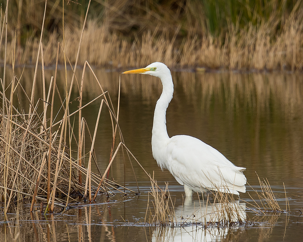Great egret - Wikipedia