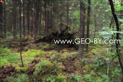 Налибокская пуща. Выворотень в лесу