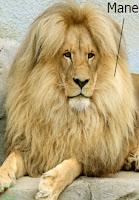 mane, lion mane