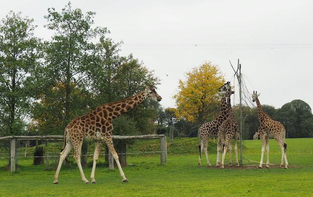 Kirahvi, Fota Wildlife Park, Cork
