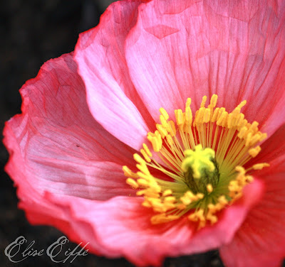 Poppies, Poppy - Bright Hot Pink Petals Close Up Photography