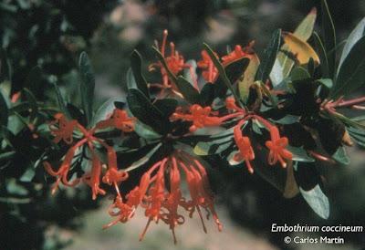 arboles nativos Notro andino Embothrium coccineum