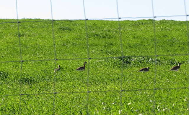 Little Bustards - Portugal