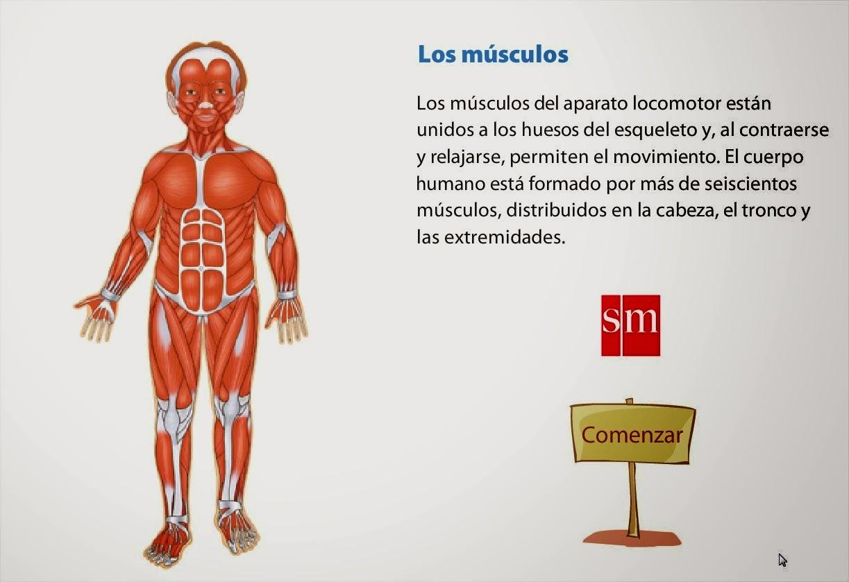 Hermosa Cuerpo Diagrama Músculos Anatomía Colección - Imágenes de ...