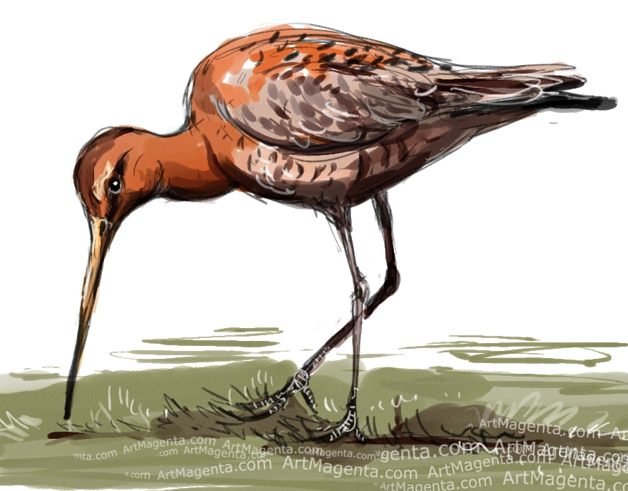 Black-tailed Godwit sketch painting. Bird art drawing by illustrator Artmagenta