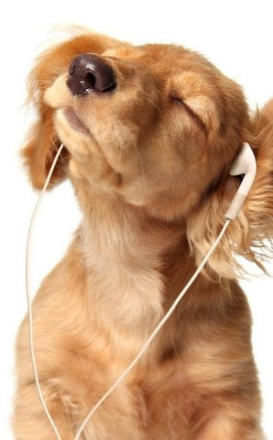 Adorable Golden Retriever Pupper Wearing Earbuds and Jammin! #puppy #golden #music #adorable