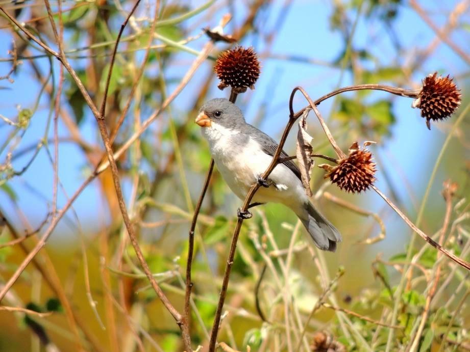 Corbatita blanco, Sporophila leucoptera