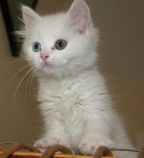 Gambar Kucing Anggora Lucu dan Imut 100018