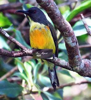 Suara Burung Apo sunbird