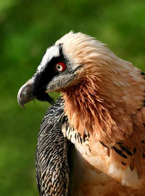 Indian birds - Image of Bearded Vulture - Gypaetus barbatus