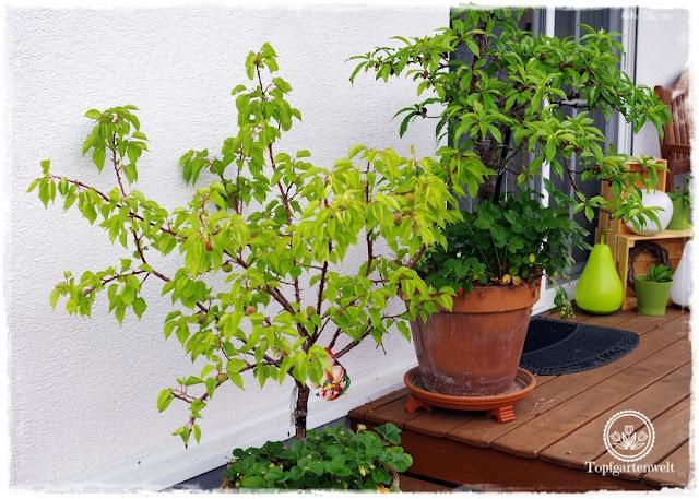 Gartenblog Topfgartenwelt Buchvorstellung Buchrezension: Der mobile Garten - Konzepte für große Pflanzgefäße - kreativ, mobil, stylish - Gärtnern in Töpfen - Obstbäume in Töpfen