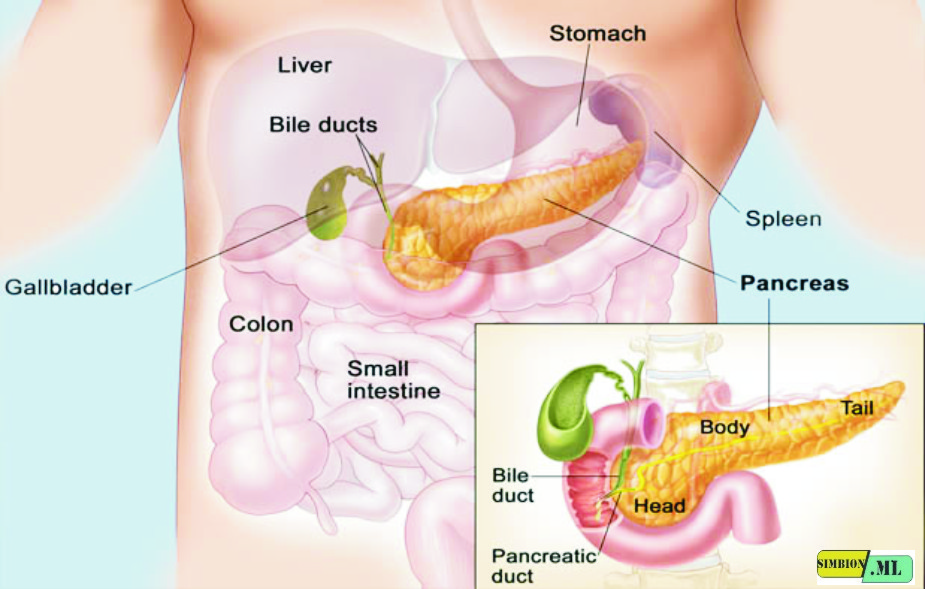 The Function Of Pepsin Enzymes In The Digestive Process Domain Biologi