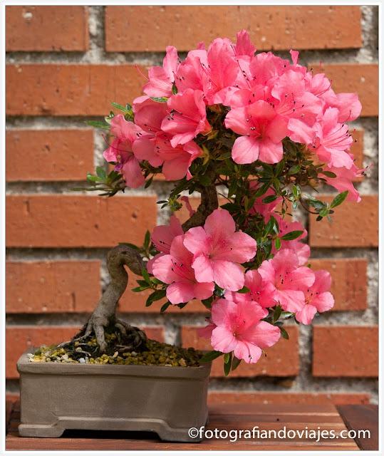 Bonsai de la especie azalea