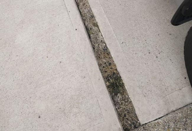 駐車場の目地のタマリュウ