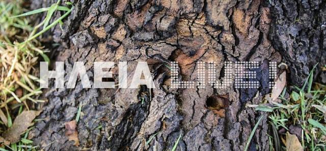 Αρχαία Ολυμπία: Σκότωσαν με θανατηφόρα ένεση φυτοφάρμακου τα πλατάνια [Εικόνες]