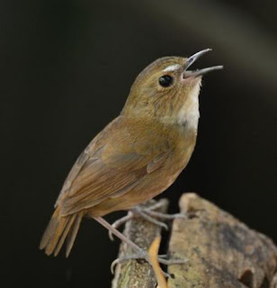 suara burung jongkangan gacor mp3