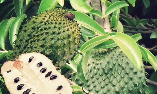 Khasiat Daun Durian Belanda Yang Bermanafaat untuk Mengubati Penyakit