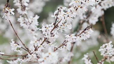 Abeliophyllum distichum, especie amenazada en la naturaleza y arbusto de flor en el jardín
