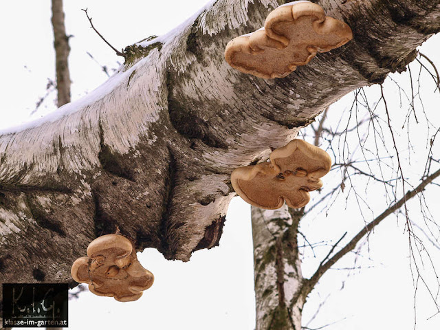von Pilz befallene Birke