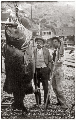 Big Fishes of the World: BASS GIANT SEA (Stereolepis gigas)