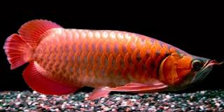 Ikan Arwana Blood Red