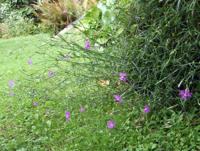 clavelina silvestre