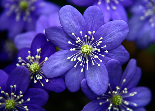 flowers for flower lovers.: Blue flowers wallpapers.