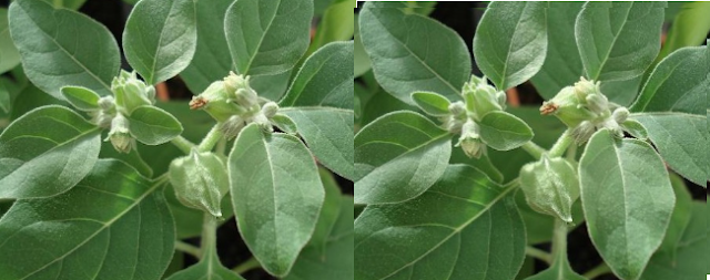 Ashwagandha Treats Leucoderma