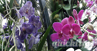 Orchid-Cultivation-www.quickitips.com