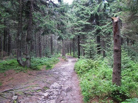 Las na Radziejowej.