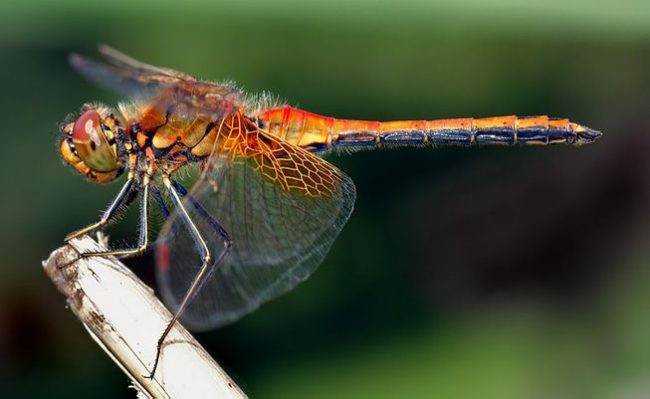 Female Dragonflies Play Dead To Avoid Males