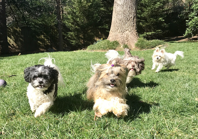 Rocco Havanese backyard play #VCAPets