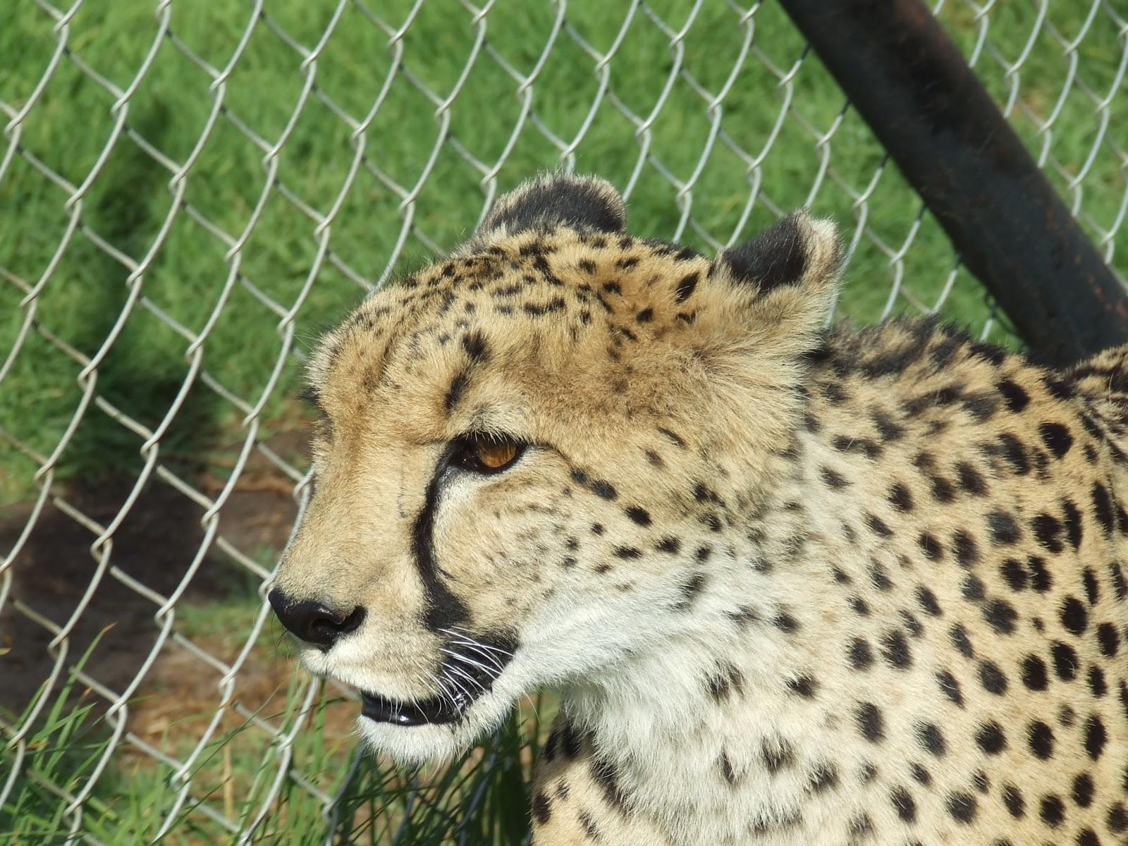Scribbling Lau: Cheetah Walk
