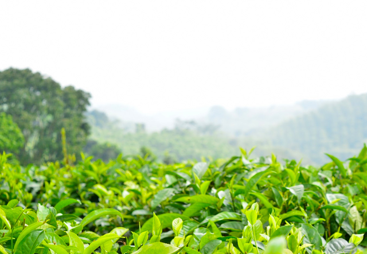 Perkebunan Teh Gunung Gambir Green Tea Plantations