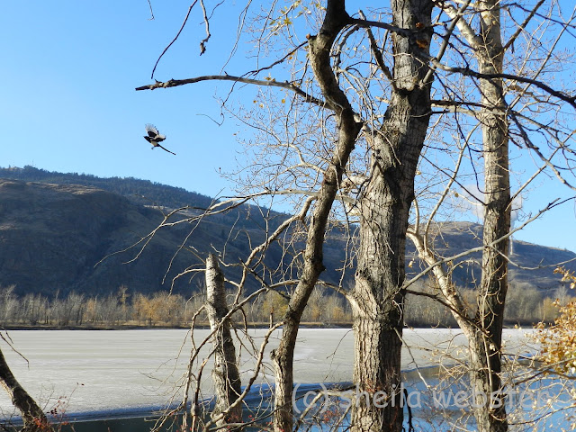The magpie leaves the tree at MacArthur Island on the Thompson River