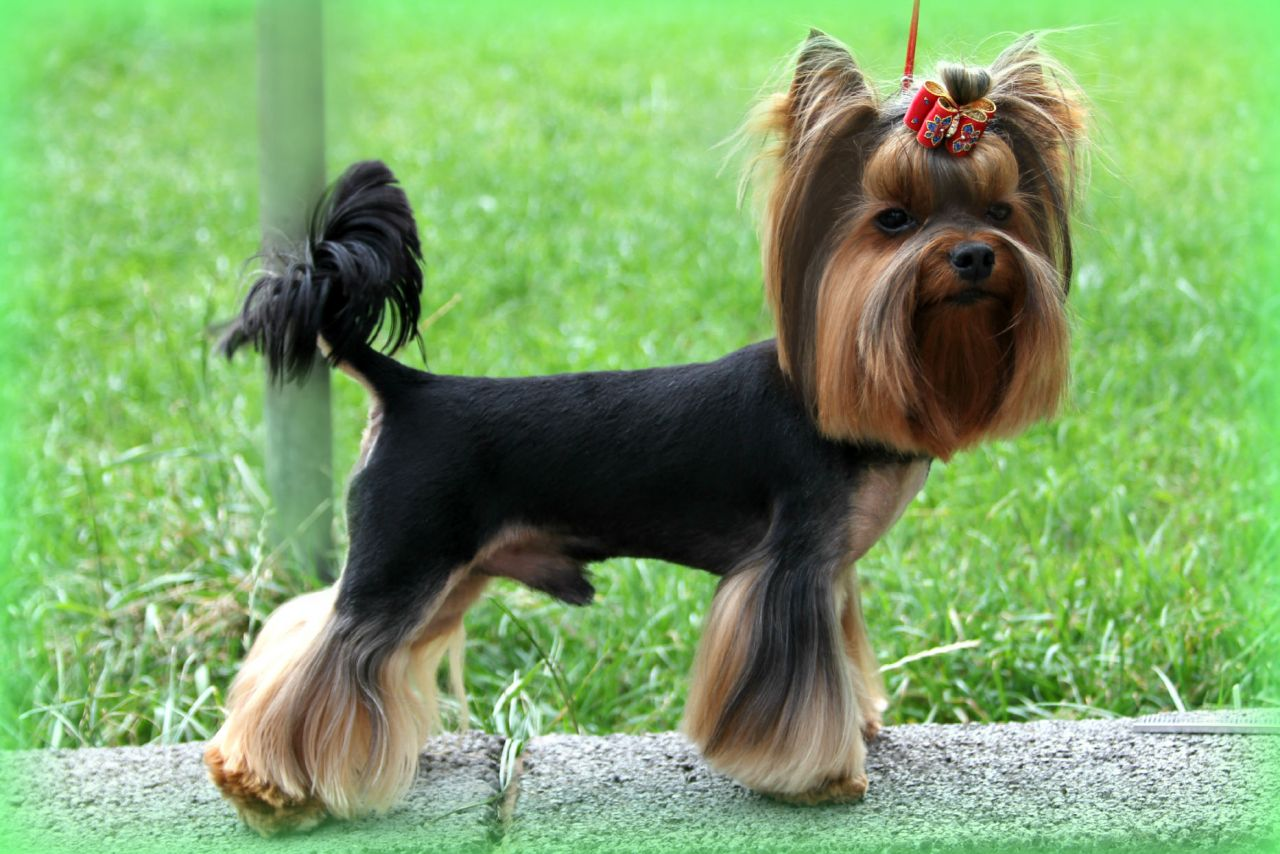 Yorkshire Terrier Or Yorkie Australian Dog Lover