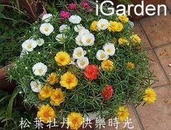 馬齒及松葉牡丹的扦插另類種法,彩色花毯花開更集中 - 園藝部落格:iGarden 花寶愛花園園藝文摘Plus