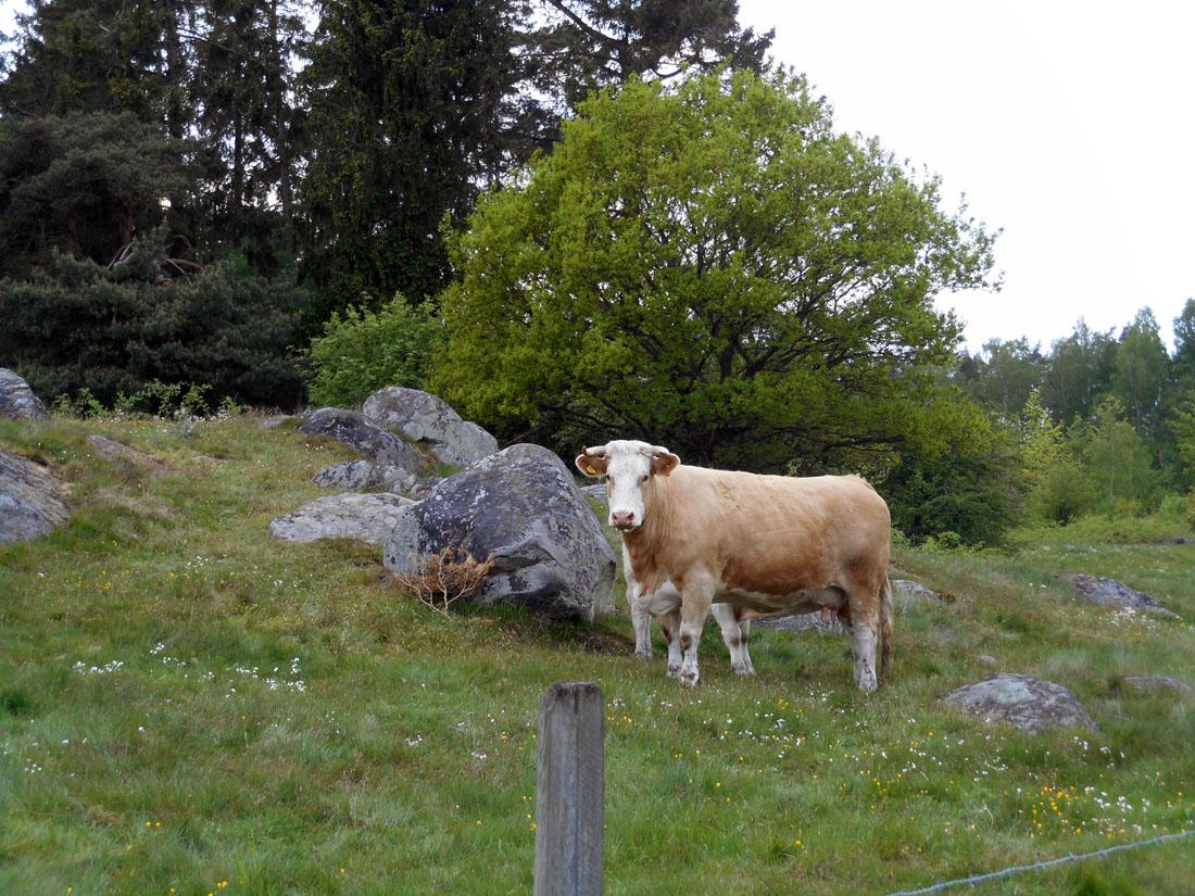 Mucche al pascolo, 18 maggio 2016