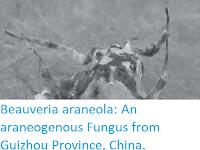 http://sciencythoughts.blogspot.co.uk/2017/07/beauveria-araneola-araneogenous-fungus.html