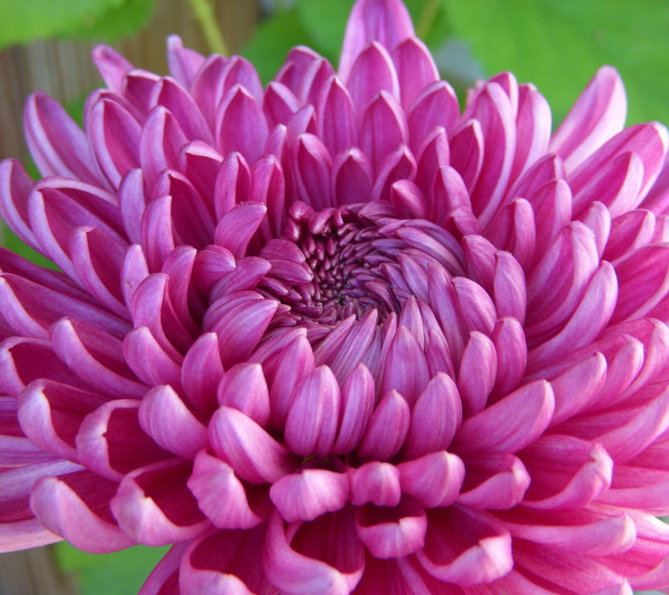 Chrysanthemum flowers 02